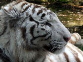 2011 - White tiger 17 by Lena-Panthera