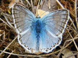 Blue butterfly by Didier-Bernard