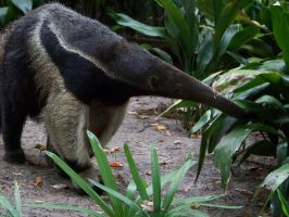 Giant Anteater at Disney by Dream-finder