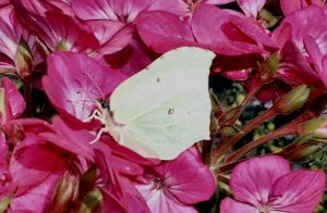 Brimstone Butterfly by moonhare77