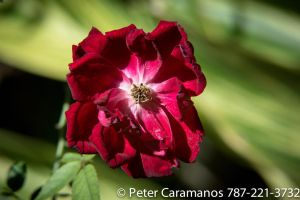 Miniature Rose 28-85 by Caramanos2000