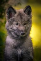 Little Wolf II by Inside-my-ART