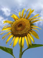 Sunflower by fayyaz