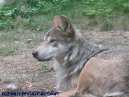 Wolf 2 - Brookfield Zoo by sorean