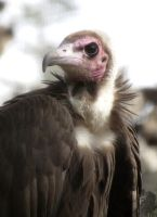 Hooded Vulture by Ciameth