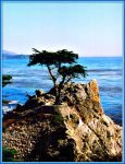 The Lone Cypress California by DiosaLuminosa