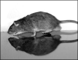 Rat Reflection 2 by Harpyen