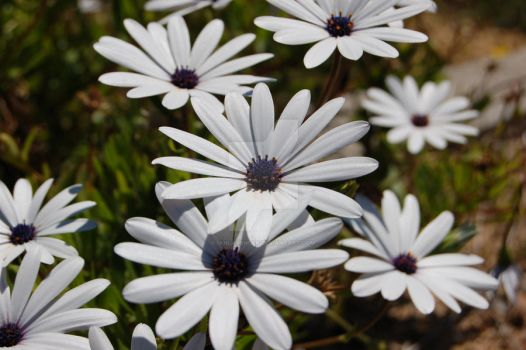White Flowers by ianlavender