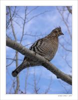 The Ruffed Grouse by altered-states