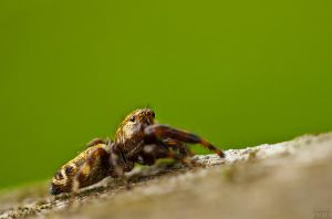 Salticidae by andreimogan