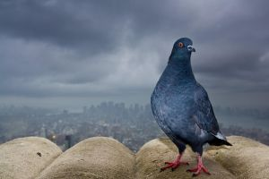 Empire State Pigeon by grahamsz