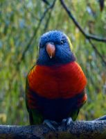 Lorikeet by gee231205