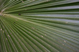 Palm Frond by sirenpetal