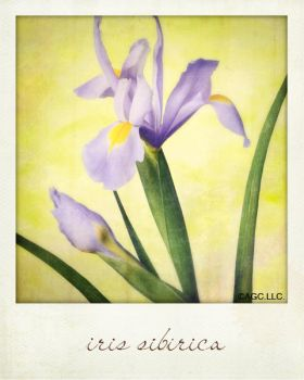 iris sibirica by MarkGalbreath