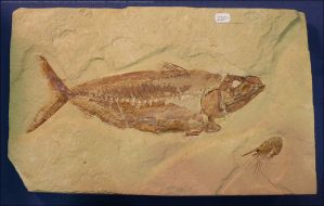 Fossilized Fish and Shrimp by Undistilled
