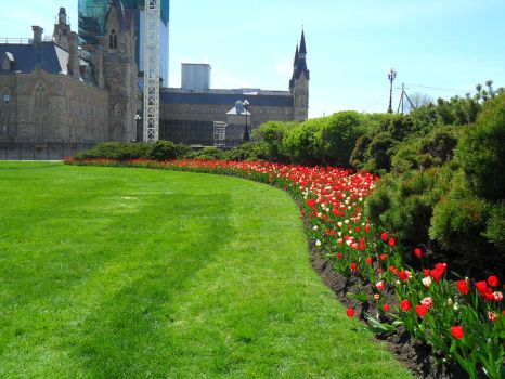 Tulips on Parliament Hill (Canada) by alphaboy202