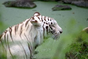white tiger, green water by n0vember