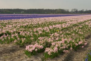 Flowering hyacinth fields 2 by steppelandstock