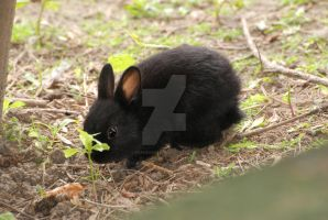 Cute Little Black Bunny by filemanager