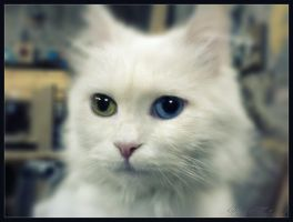Cat Different Colored Eyes by BaselMahmoud
