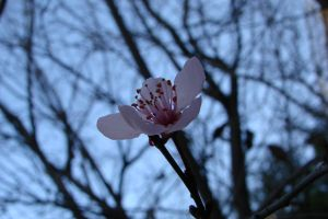almond's flower by PureSmile