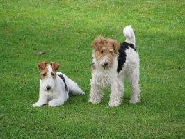 wire-haired fox terriers by miszmii