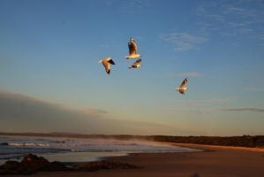 Southern Cross Gulls by brunette-from-oz
