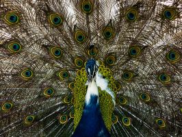 Pwetty Peacock - I by InayatShah