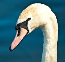 Young Mute Swan by svendo