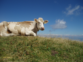The World on a Cow by Mornothly