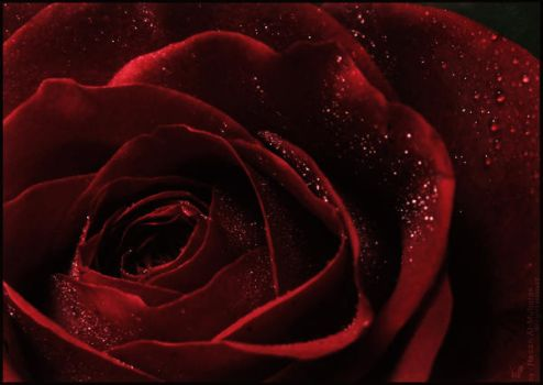 Rose of Love by HasanMHM