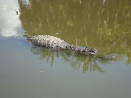 Sneaky gator in the water by cali-cat