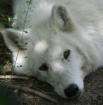 White Wolf by Waya37 by TheWolfPack