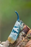 Pyrops heringi (IMG 2029 copy) by orionmystery