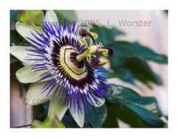 Passion Flower by yashachan