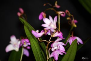 Dendrobium Kingianum 3 by Philatx