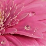 Soft gerbera 1 by FrancescaDelfino