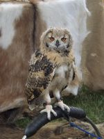 Owl at the heckington show by Candyfloss-Unicorn