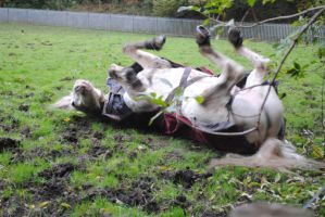 Grey Horse Rolling (6) by emmys-stock