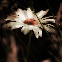 Marguerite II by Rayon2lune