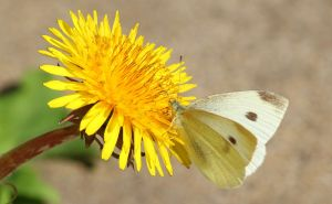 Dandelion and cabbage moth. by wolftraz