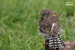 Glaucidium Brasilianum I by blizzard2006