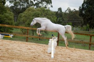 Arab Showjumping no tack side by Chunga-Stock