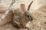 Desert Cottontail 2 by Monkeystyle3000