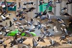 Pigeons by mhmalali
