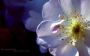 The Orchid Rose II by kharax
