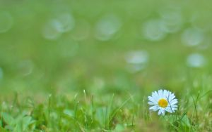 Lonely Daisy by Bhesi