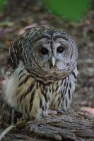 Barred Owl by yoricktlm