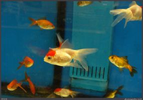 Fish Stock 0035 by phantompanther-stock