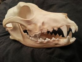 Dingo Skull -SOLD by CatBonesTaxidermy